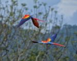 scarlet macaws flying costa rica
